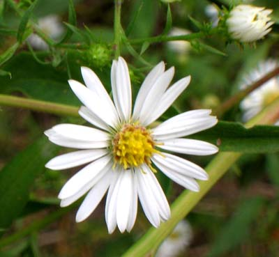 Small whiter aster flowers mightylinksfo