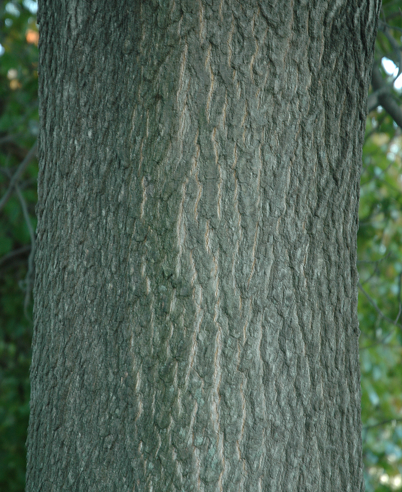 Pin oak tree bark images amp pictures becuo