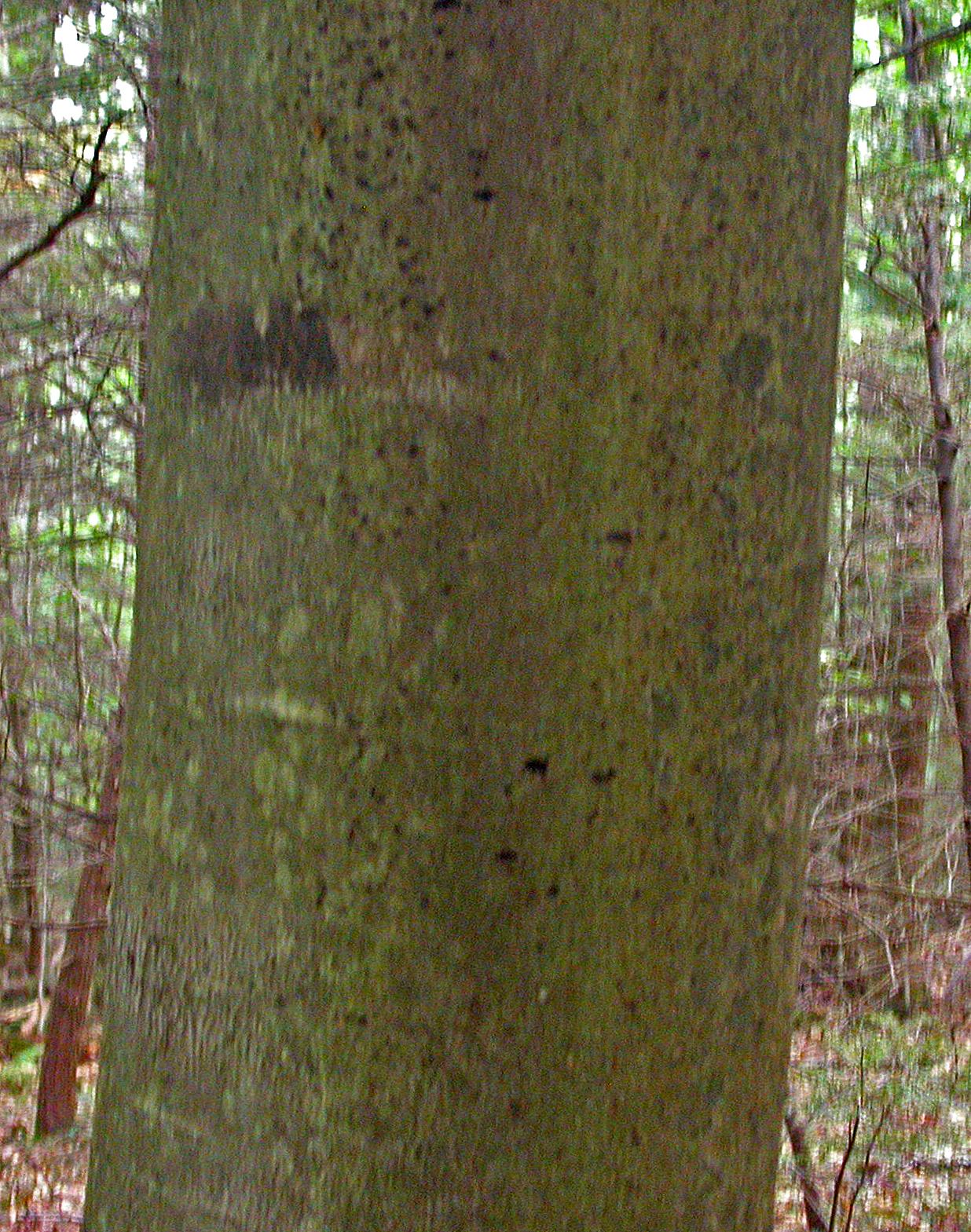 American Beech Wood ~ American beech