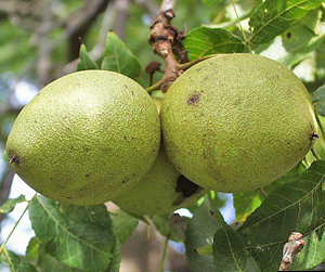Black Walnut: Fruit - Click for larger image