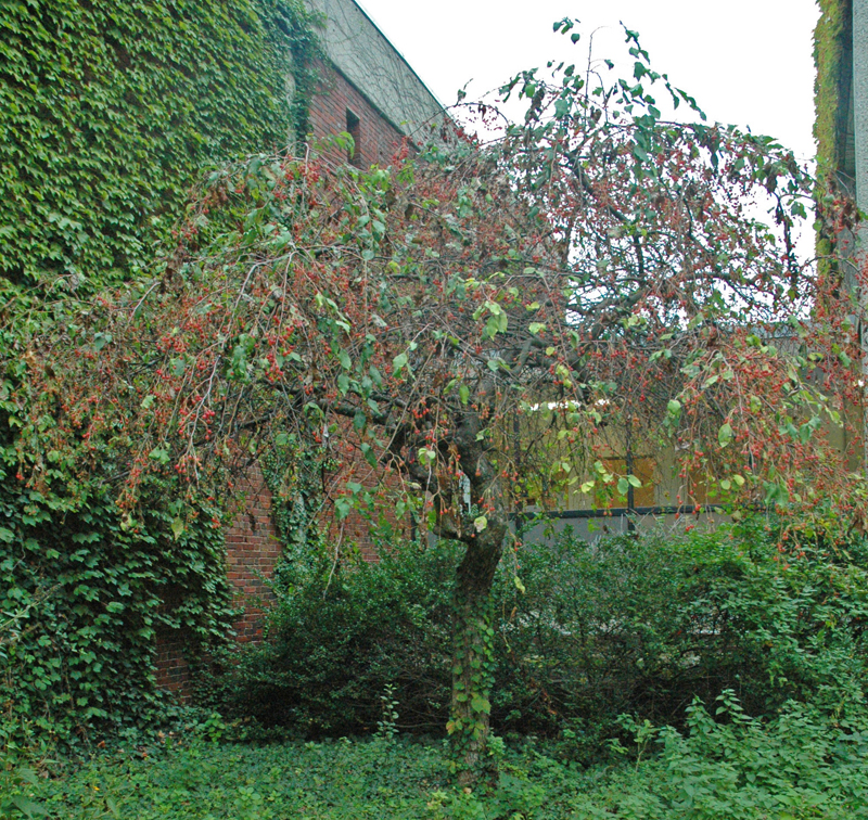 green crab apple tree. crabapple: full tree - click for larger image green crab apple