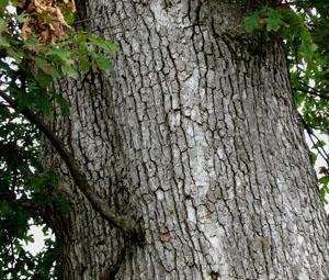 Taste Of The Wild White Oak Quercus Alba