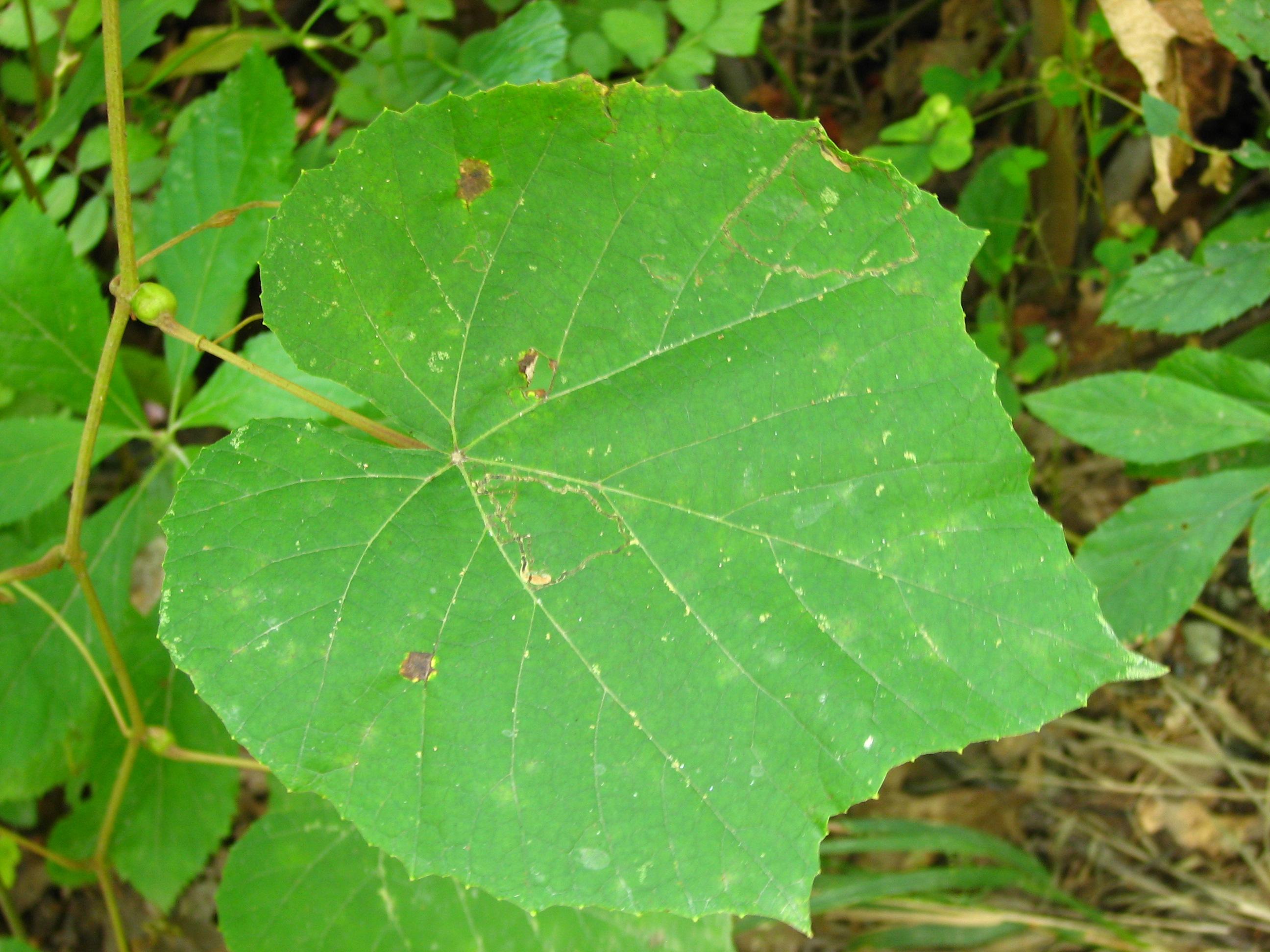 Leaves edible