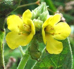 Does each flower have 5 petals or more than 5 petals more than 5 petals common mullein flowers mightylinksfo