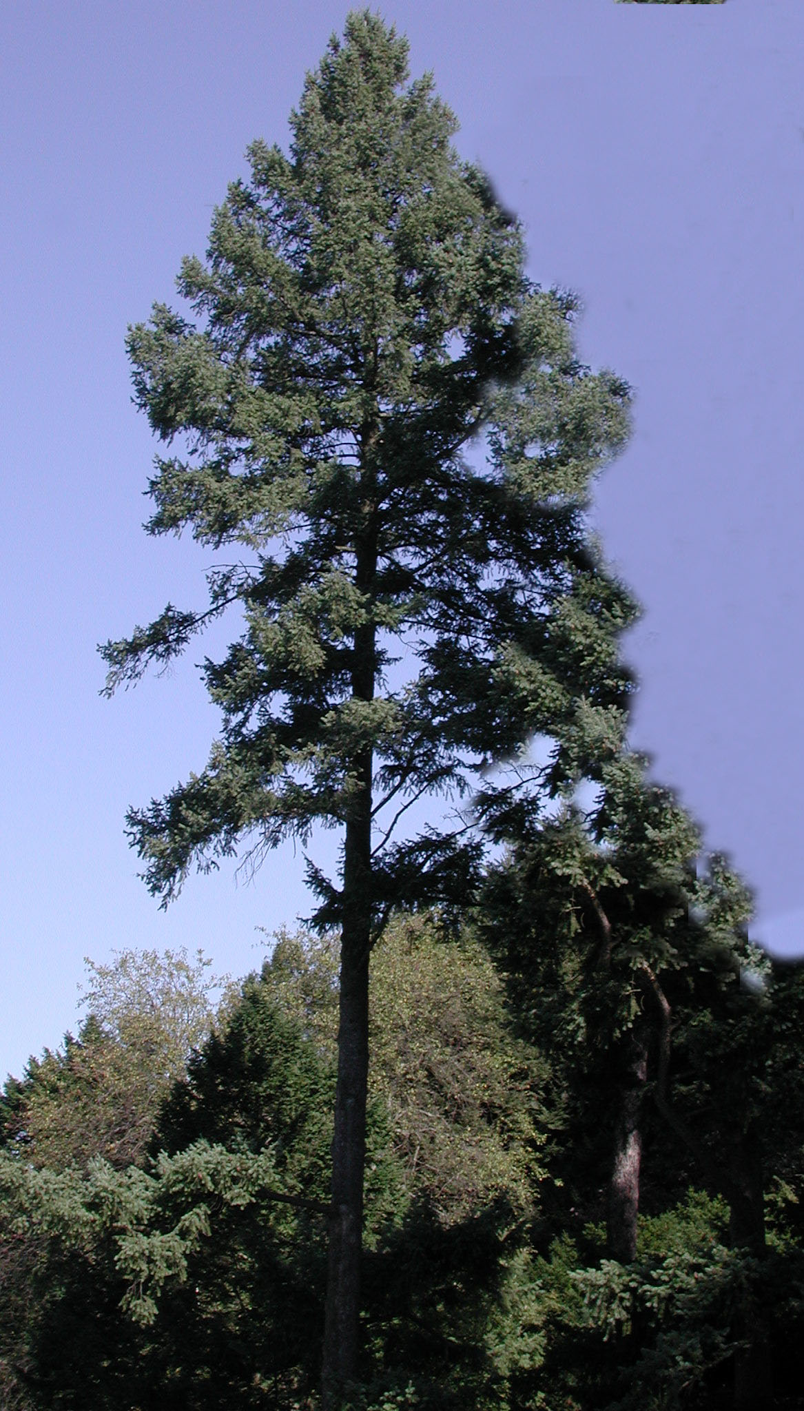 Fir Tree Fir tree - ed.jpg 13-oct-2004