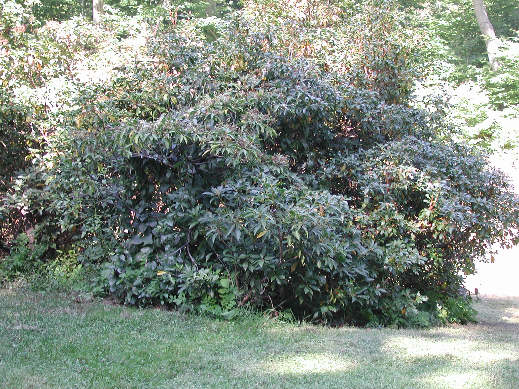 Mountain Laurel Plant
