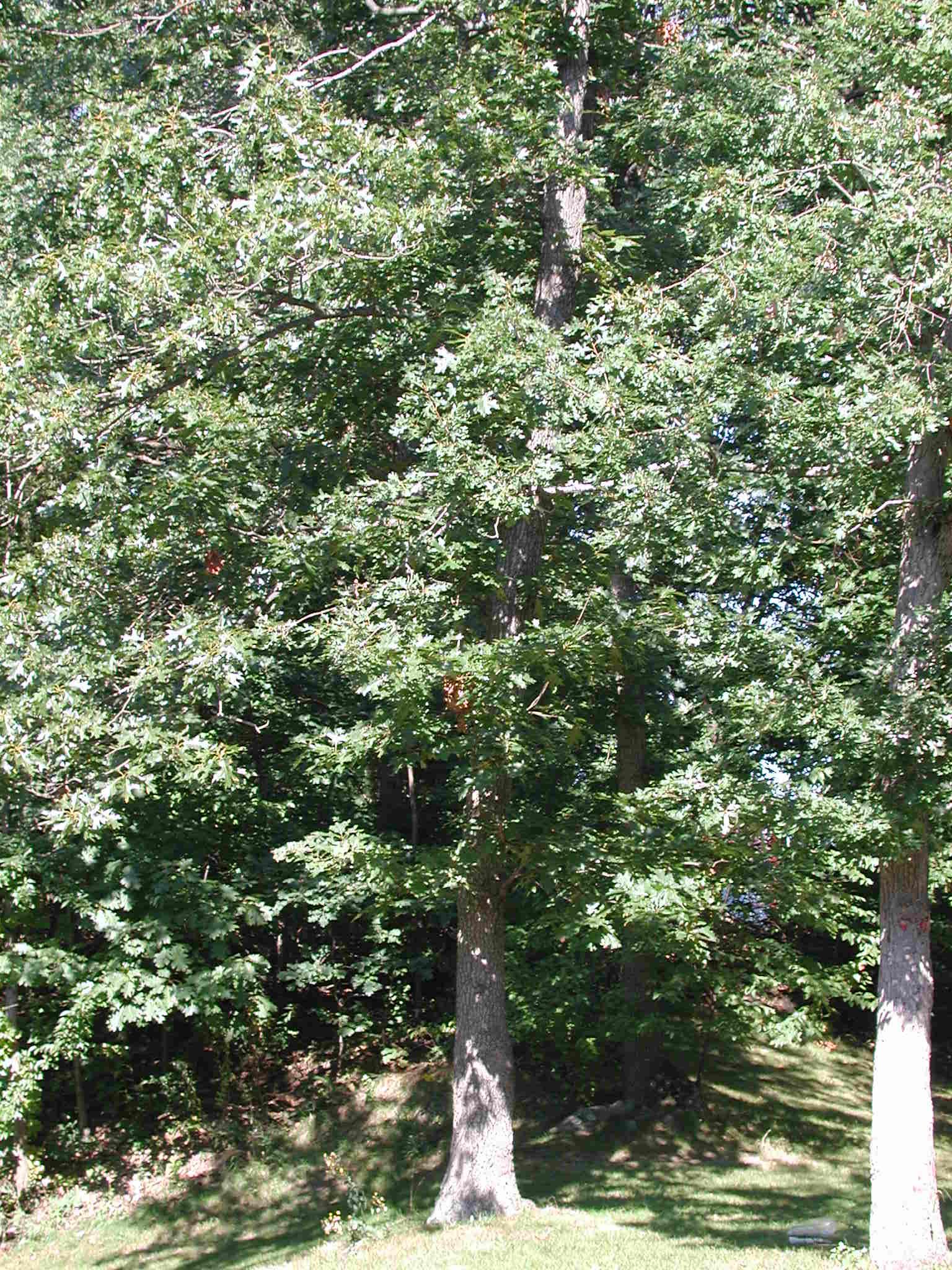 Black Oak Tree ~ Index of fieldbio survival images oak black