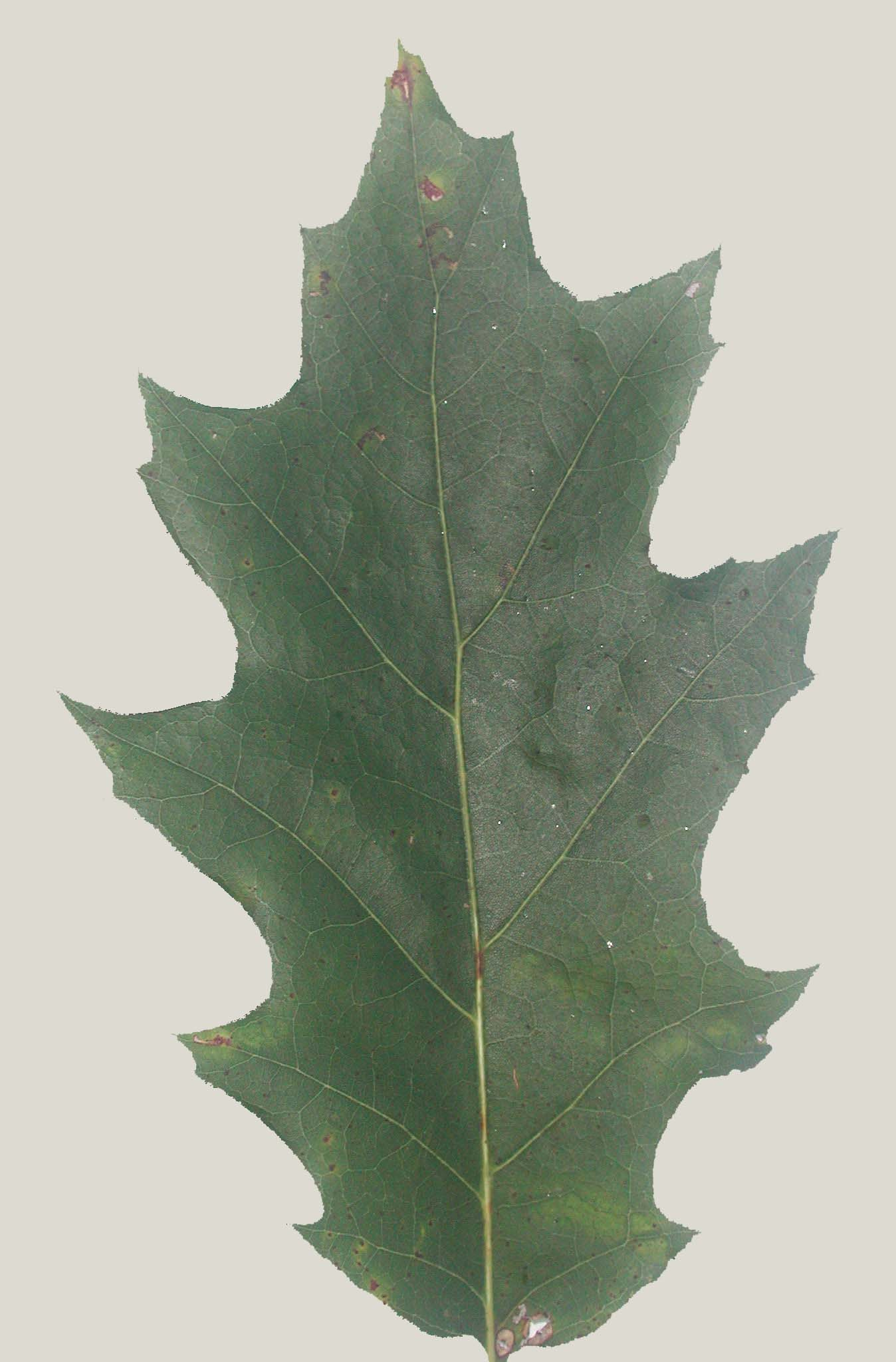Index of fieldbio survival images oak red