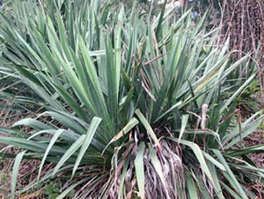 Hometalk what is this and what do i do with this for Plante yucca