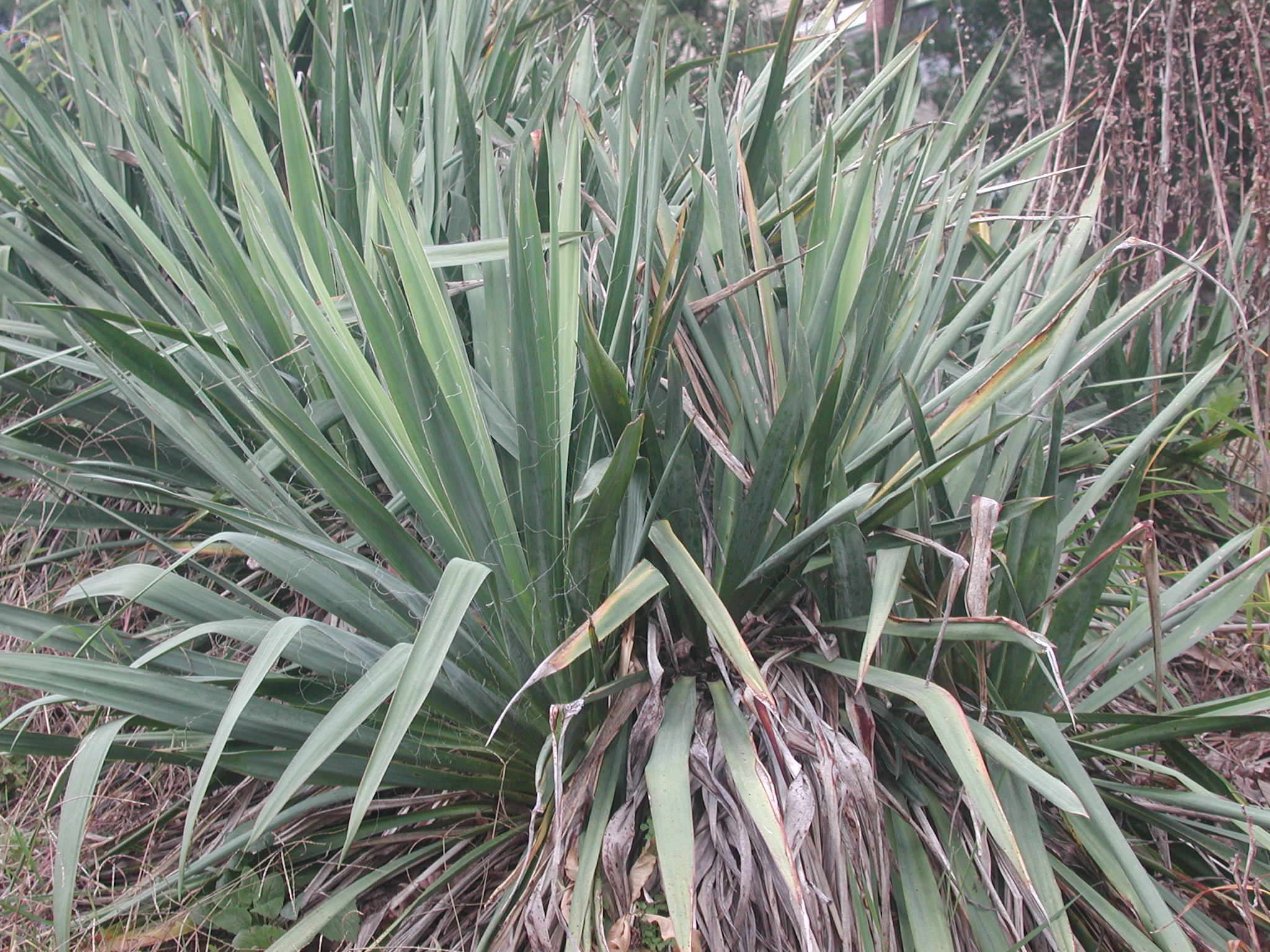 Index of fieldbio survival images yucca for Yucca plante