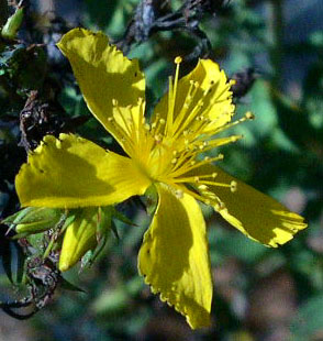 Medical Plants and their Cures St_Johns_Wort_716edit