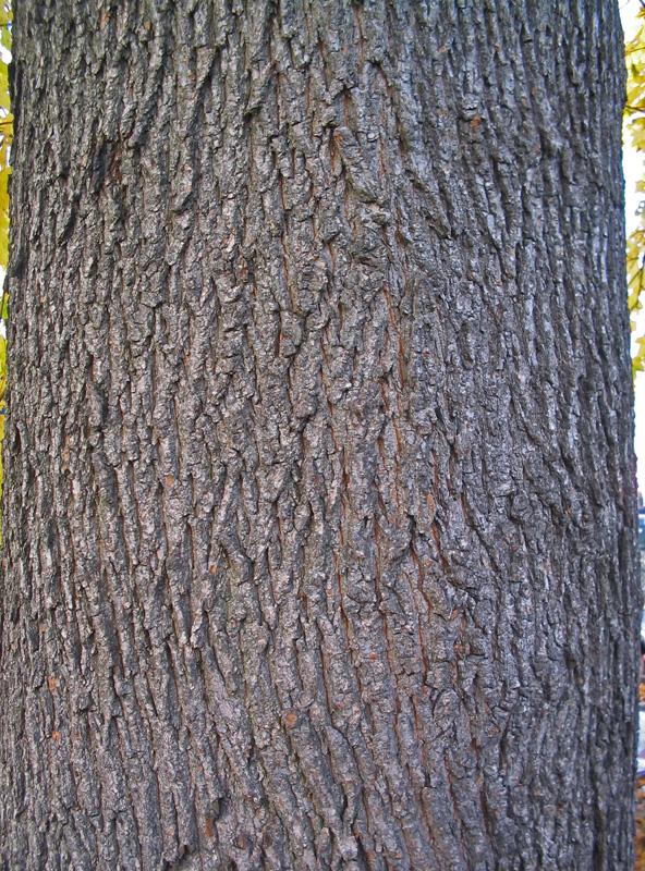 Invasive And Exotic Species Boston - Norway maple bark