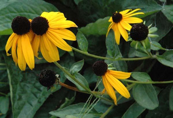 http://www.bio.brandeis.edu/fieldbio/Wildflowers_Kimonis_Kramer/IMAGES/Edited_Images/black_eyed_susan1_SIZED_LARGE.jpg