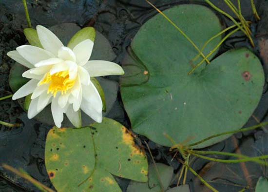 Fragrant Water Lily Nymphaea Odorata Species Page