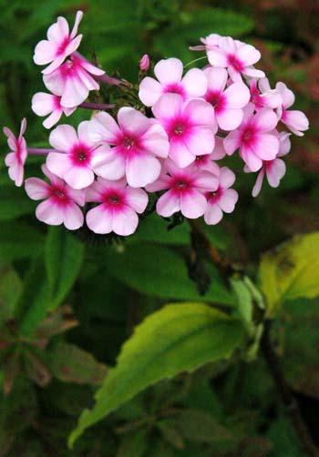 Garden Phlox Phlox paniculata Species Page