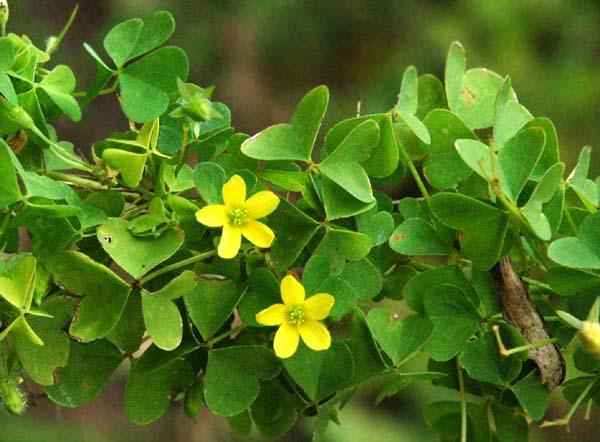 Yellow wood sorrel oxalis stricta species page mightylinksfo