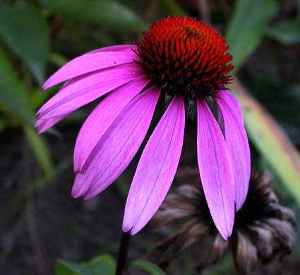 Native Plants and Wild Plants: Tennessee Coneflower