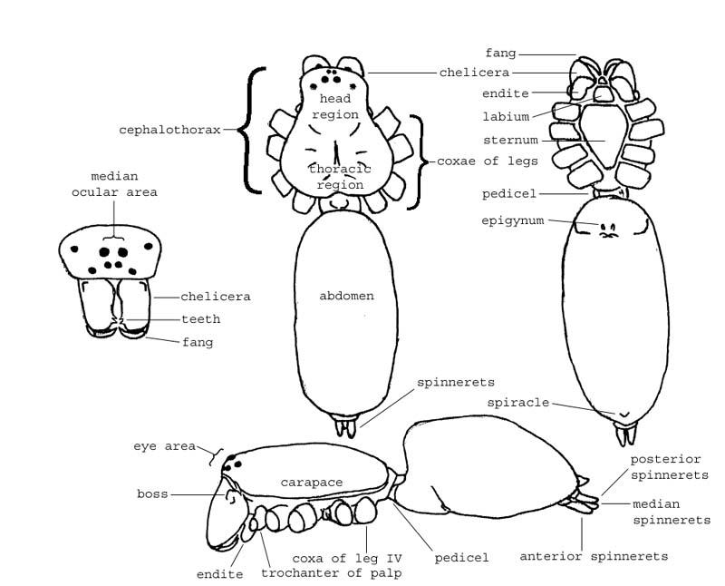 Arachnids: anatomy