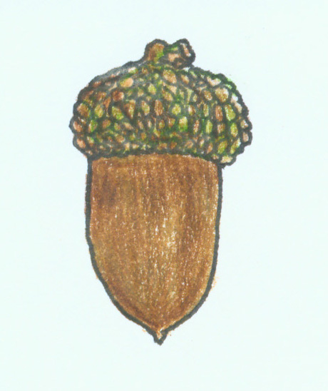 acorn of white oak