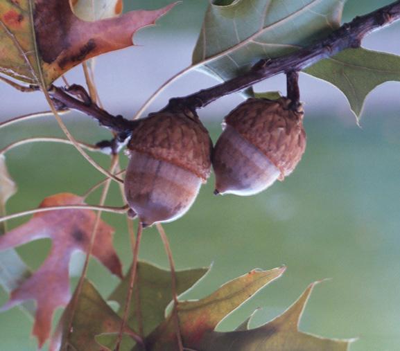 quercus coccinea acorn jpgQuercus Coccinea Acorn