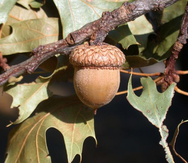 Acorn of red oak