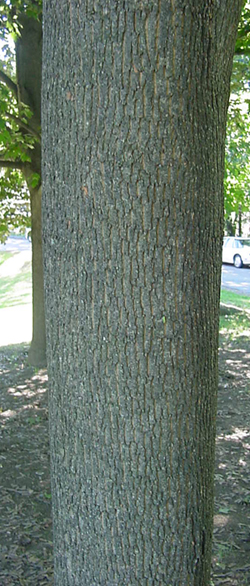 Norway Maple - Norway maple bark