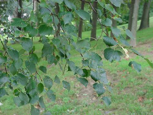 European linden tree