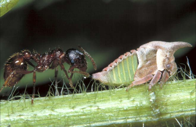 ant and treehopper (photo by Dan Perlman)