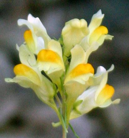 Medicinal PlantsButterandEggs