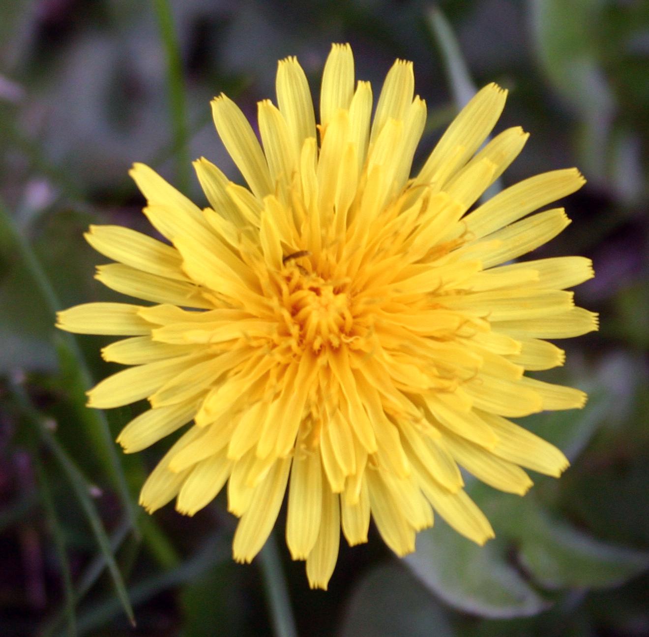 medicinal plants-dandelion