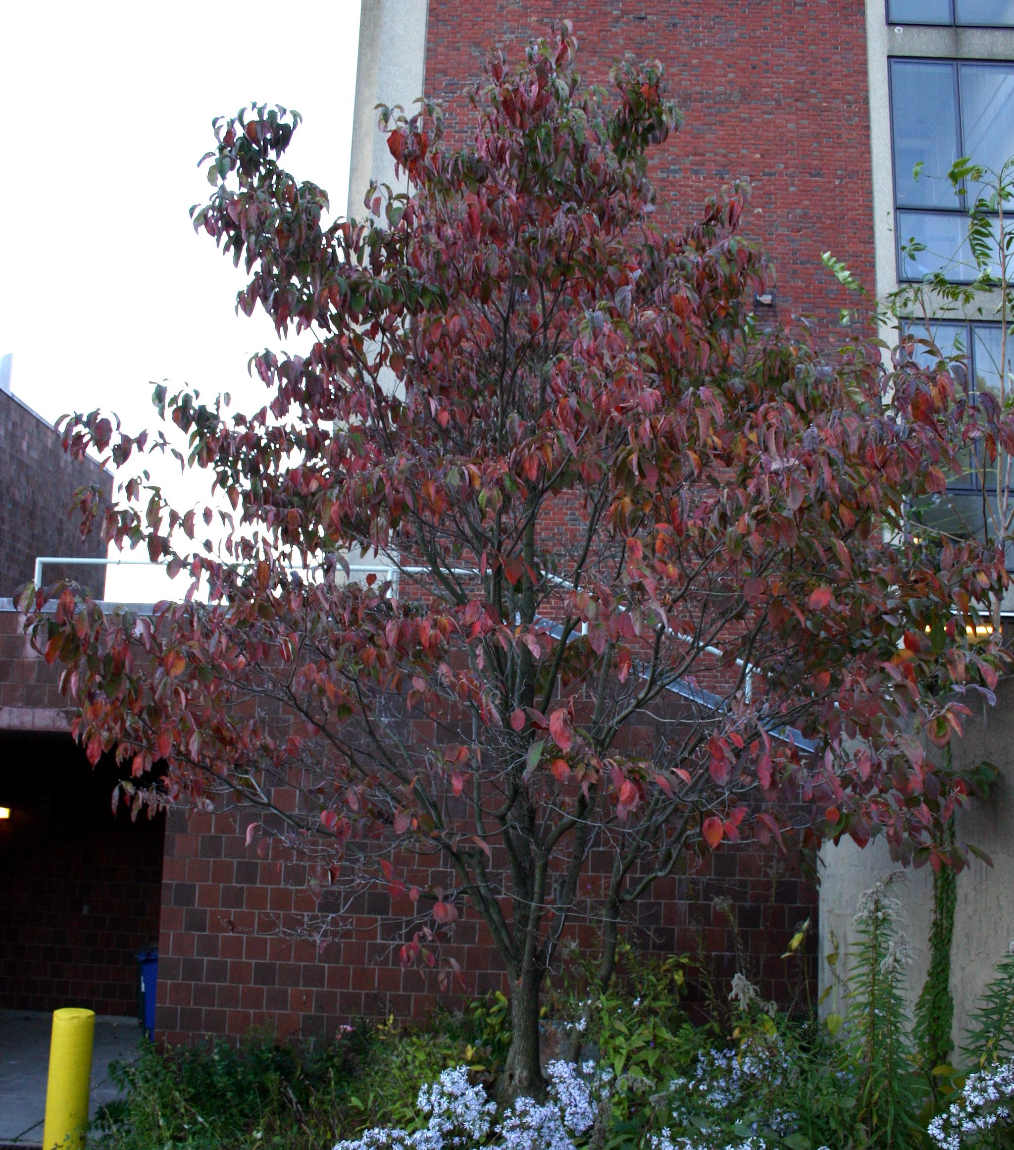 Small Ornamental Trees For Kansas: Medicinal Plants-Flowering Dogwood