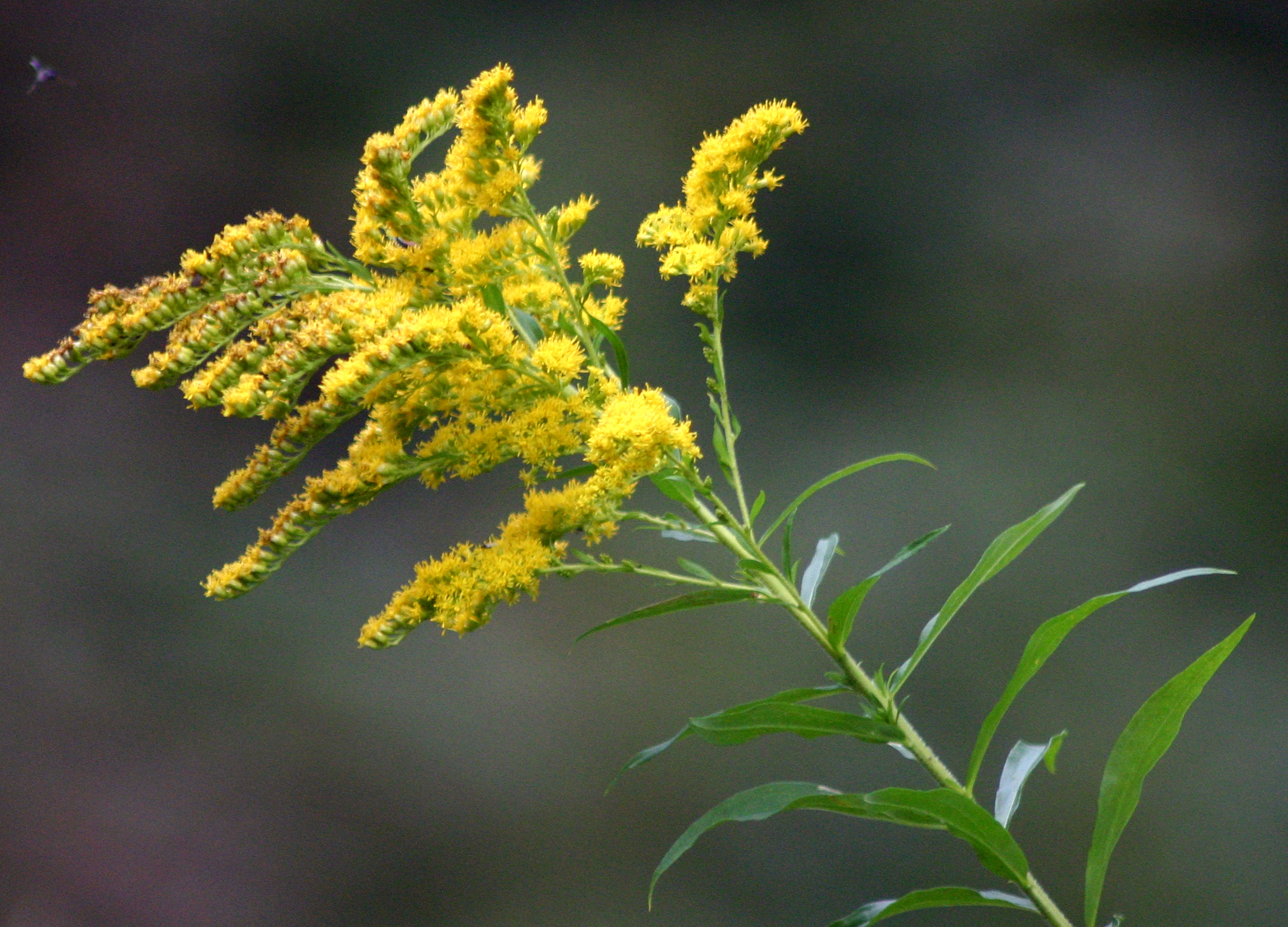 Goldenrod Blitz – Saturday 27th July – Warren Farm Nonsuch