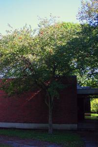 Medicinal Plants Hawthorn