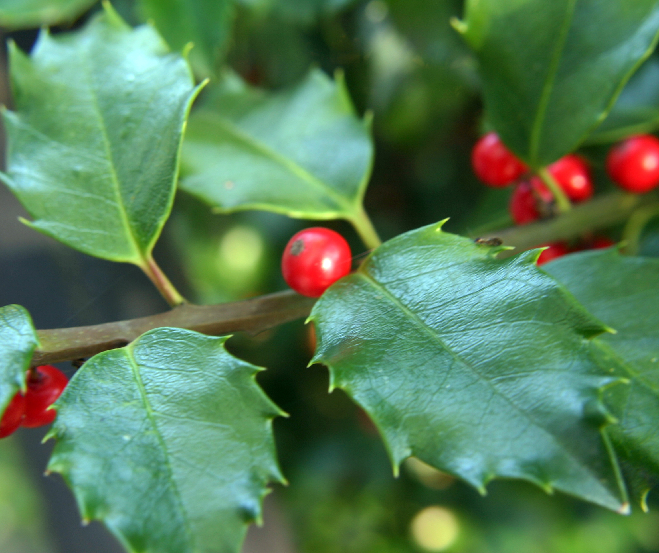 american holly branch - Holly Plant