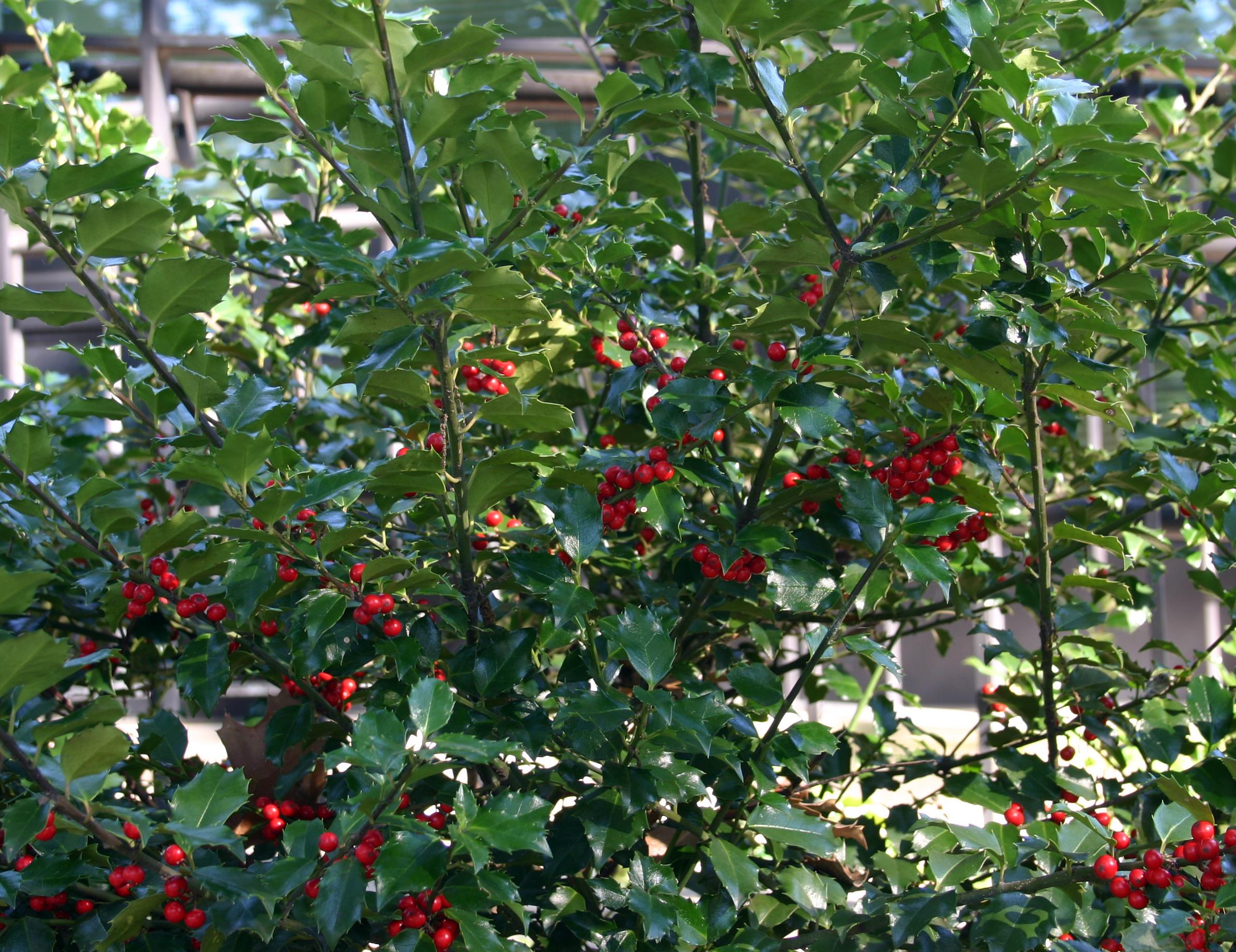 Medicinal Plants American Holly