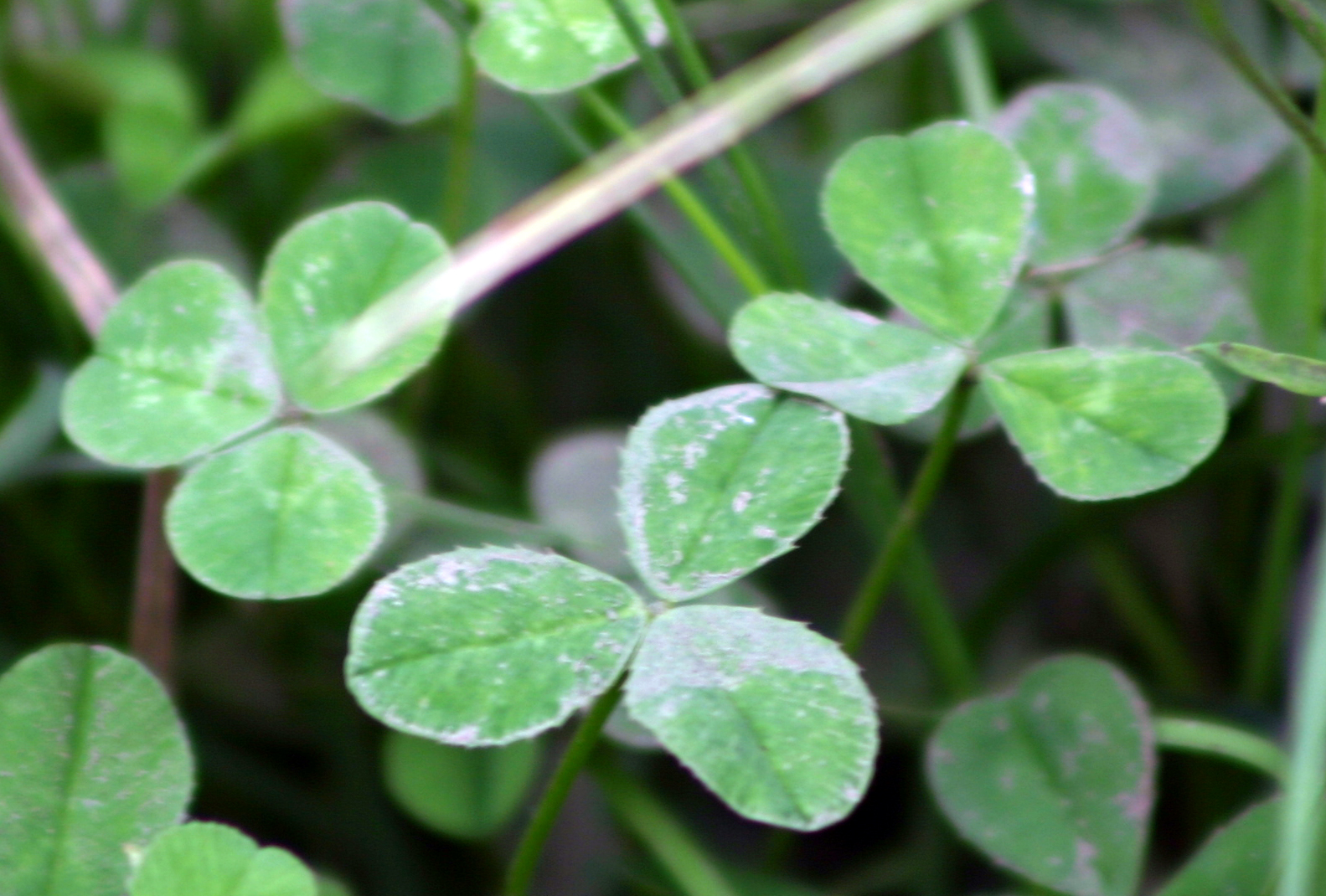 White clover Poisoning in Horses |White Clover Plant