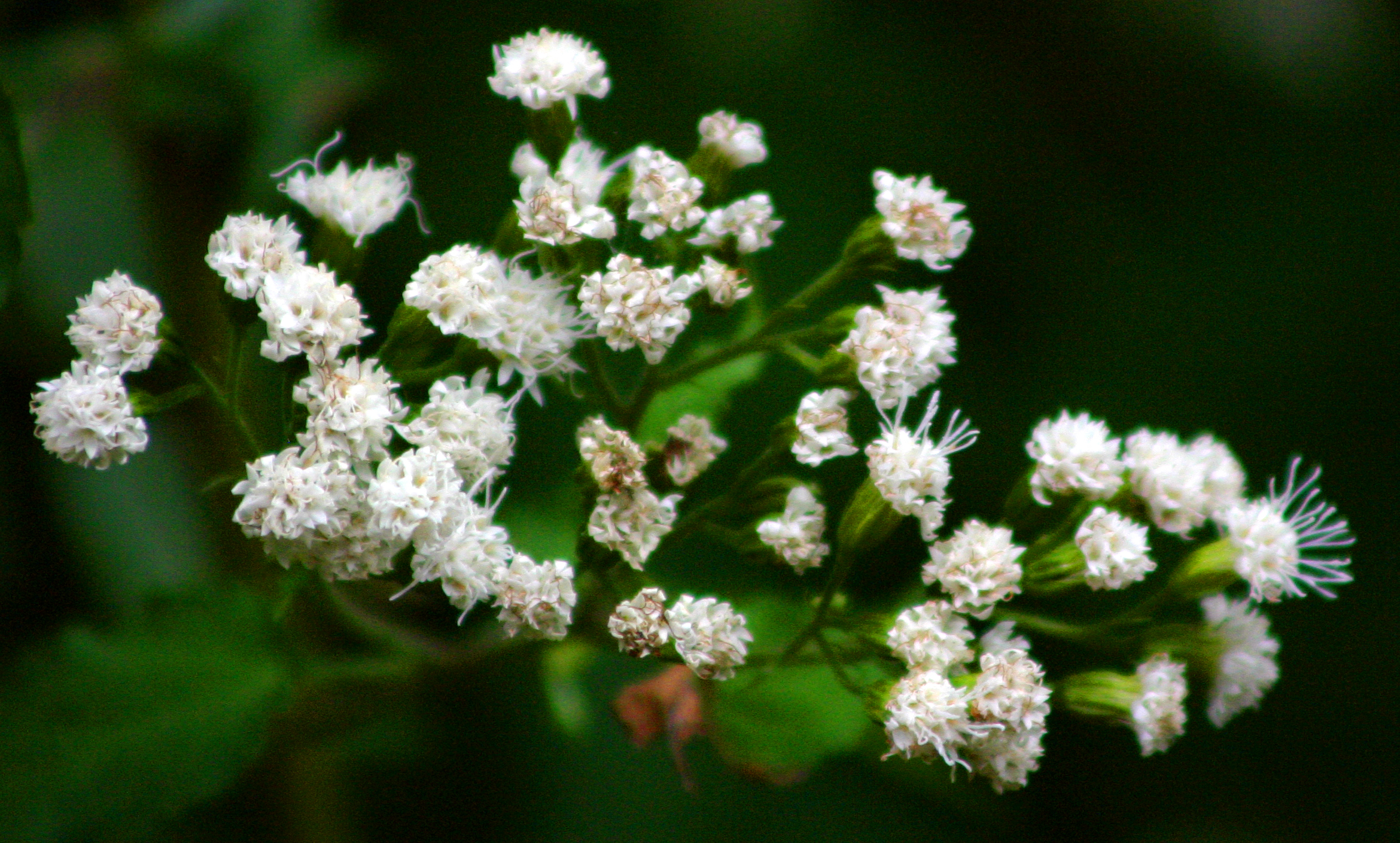 Medicinal Plants White Snakeroot