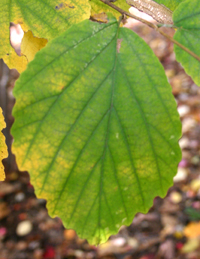 Medicinal Plants-Witch-Hazel